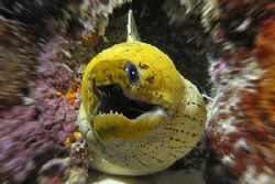 nikD 200 + SB800 in Sealux housing, fimbriated moray by Manfred Bail