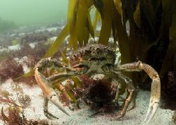 Spider crabs, large male standing over female.