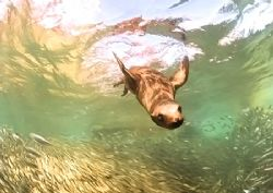 Sealion chases baitfish. Sea of Cortez.