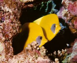 Red Sea Butterfly fish, unique to this area. Nikonos V 28... by Marylin Batt