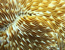 Razor Coral. Photo taken in Haleiwa, HI. 100m macro w/ ex... by Mathew Cook