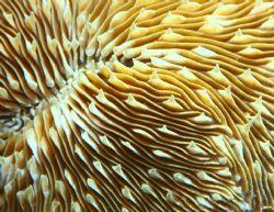 Razor Coral. Photo taken in Haleiwa, HI. 100m macro w/ ex... by Mathew Cook