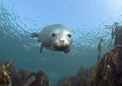 Grey seal. Farne Islands, in a few metres of water. D20... by Mark Thomas