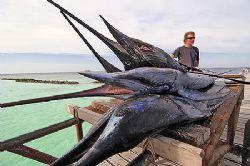 nik D2x Sailfish (Istiophorus platypterus) Vakarufalhi - ... by Manfred Bail