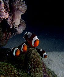 Nemo squad in action.... E900 Malapascua island by Alex Tattersall