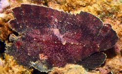 Leaf Scorpionfish. Shot taken in Haleiwa, HI. Found this ... by Mathew Cook