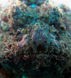 scorpion fish, off waikiki by Elizabeth Chase