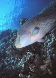 Juvenile Napoleon hanging out at Ras Nasrani Reef, Sharm,... by Erich Reboucas