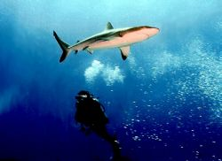 Diver watching a Grey Reef Shark in Rangiroa. Nikonos V 2... by Marylin Batt