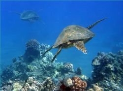 Into the Blue. I just love swimming with turtles! Photo t... by Mathew Cook