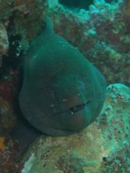 One of the many Morays that we saw when Diving off the is... by Karen Scorgie