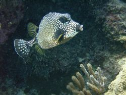 Trunkfish by Lora Tucker
