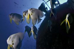 nik D200, SB800 strobe, batfish at wreck by Manfred Bail