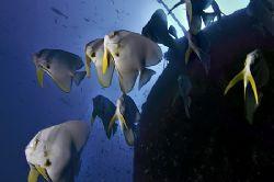 nik D200, SB800 strobe, batfish at wreck by Manfred Bail
