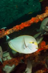 "surgeon fish ""hang out"" on the Dania wreck just off the r... by Fiona Ayerst"