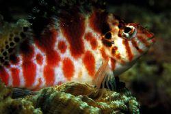 hawk fish.puerto galera.philippines by Parvin Dabas