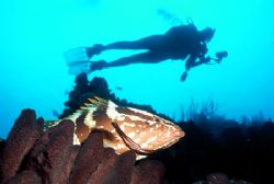 Just off West Caicos a Nassau grouper rests at a cleaning... by Jerry Hamberg