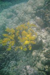Kealakekua Yellow Tangs July05. ReefMaster film camera. by Bill Arle