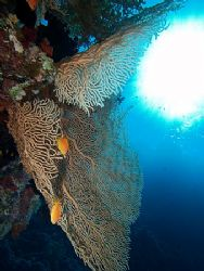 Fan coral and sunburst taken at Ras Zatar with E300. by Nikki Van Veelen