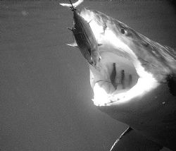 White Shark   Shot from cage at Isla Guadalupe by William Buchheit