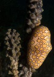 Flamingo Tongue, Roatan. Fuji F810 by Jennifer Temple