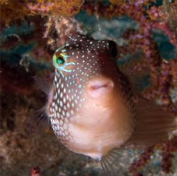 Spotted Sharpnose Puffer at 40 fsw