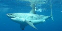 White Shark by Kevin Colter