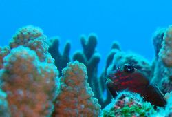 Red Streaked Blenny- Saipan MP by Martin Dalsaso