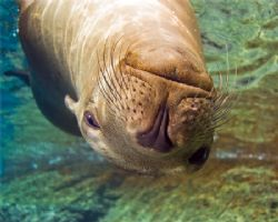 Female sea lion sleeping at the surface at Los Islotes in... by Kurt Schurenberg