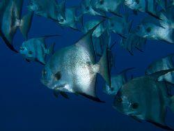 Atlantic Spadefish School, Roatan. Fuji F810. by Jennifer Temple