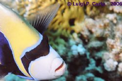 Emperor angel fish: a close look. by Luigi Carta