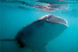 Whaleshark in the Bahia de La Paz, Sea of Cortez. Lots of... by Kurt Schurenberg