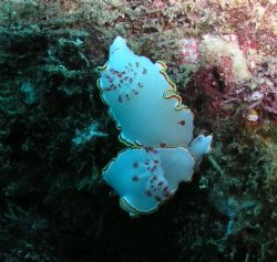 Glossodoris Sedna Nudibranch x 2  Sometimes called the ... by Kevin Colter