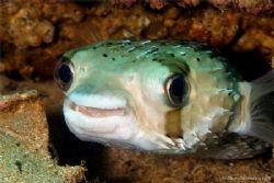 Happy looking balloonfish. Very common in the Sea of Cortez. by Kurt Schurenberg