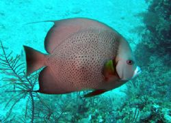 Gray Angle.Taken in the Bahamas by Ray Eccleston