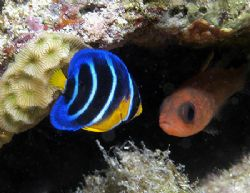 Juvenile Queen Angelfish and one of his little friends. N... by Jim Chambers