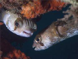 Gossiping Balloonfishes in La Paz (Sea of Cortez). Taken ... by Susan Lunn