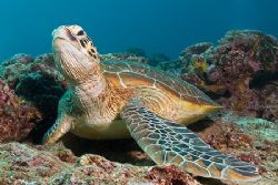 Green turtle relaxing on the reef. Canon 20D, Sigma 17-70... by Kristin Anderson