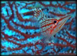 Longnose Hawkfish- Palau by Martin Dalsaso