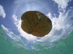 Leaf floating on the surface at Cane Garden Bay in the BV... by Terry Moore