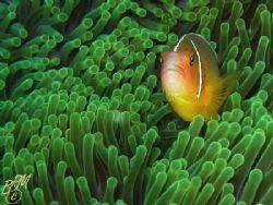 Anemonefish from Taveuni, Fiji. Canon A70 with internal f... by Brian Mayes