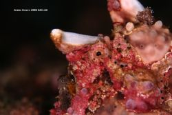 frogfish 350d twin inon z240 by Adrien Uichico