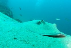 Sink To My Level  Cortez Sting Ray in the sand by Kevin Colter
