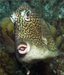 Kiss, kiss. Natural demeanor of the Honeycomb Cowfish. Ta... by Susan Lunn