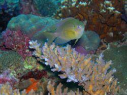 P. vaiuli - my first underwater photo taken during a site... by Nonoy Beldia