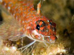 Lizard Triplefin, Sea of Cortez by Kurt Schurenberg