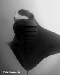 Amazing Giant Manta Ray in the front. Photoed at German C... by Yorko Summer