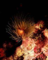Feathery Anenome, only saw open at night. Nikonos V 28mm ... by Marylin Batt