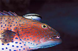 sweetlips beeing cleaned; Nikon F80, 105mm, 2 strobes, by Jean-Louis Danan