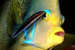 Angelfish has it's eye shadow touched up...;-) D2x 105mm by Rand Mcmeins